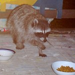 The blind mother raccoon's daughter (now grown) heads for the cat kibble.