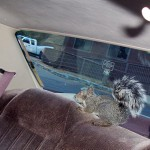 Cookie, a wounded squirrel, recouped two days in my car before being set free