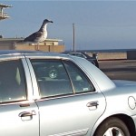 At day's end, a Venice Beach seagull rests for a moment on a parked car