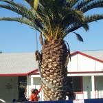 This Queen Palm from a residence in Sun City fetched $2,000
