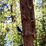 Idyllwild's Stellar Jay's are intelligent, curious and loud