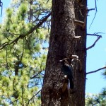 Although they prefer peanuts or acorns, Stellar Jay's will eat dry cat food