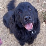 Big, black and hairy, LeRoy the Newfoundland, is often mistaken for a bear