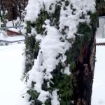 surprise stump vines