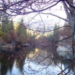 tangled tree Rt LF
