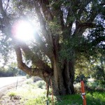 tree with sunspot